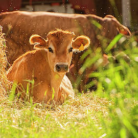 Cow Outside In The Paddock by Rob D Imagery