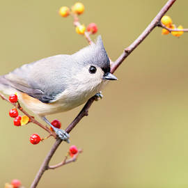 Mike Timmons - Tufted Titmouse