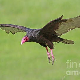 Turkey Vulture by Gary Wing