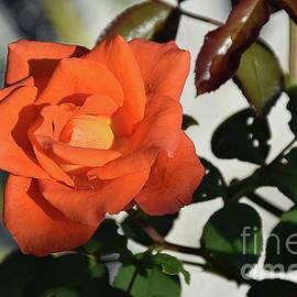 7539-orange Rose by Elvira Ladocki