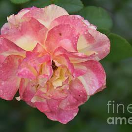 7818-colorful Rose by Elvira Ladocki