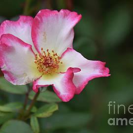 7822-colorful Rose by Elvira Ladocki