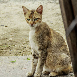 Mangge Totok - a beautiful female cat