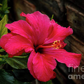 A Beautiful Red Hibiscus by Robert Bales