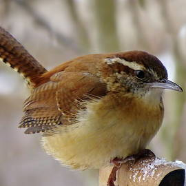 A Bit Cold for Carolina Wren by Lyuba Filatova
