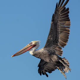 A Brown Pelican Descends by Bruce Frye