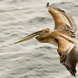 A Brown Pelican Glides Over the Waves by Derrick Neill