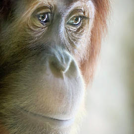 A Close Portrait of a Young Orangutan by Derrick Neill