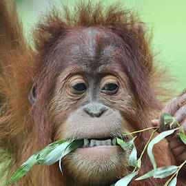 A Close Portrait of a Young Orangutan Eating Leaves by Derrick Neill