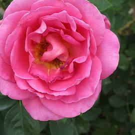 A Close-Up Of A Medium Rose by Paul - Phyllis Stuart