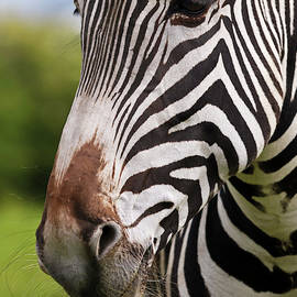 A Close Up of a Zebra Face and Whiskered Muzzle, Equus grevyi by Derrick Neill
