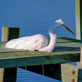TJ Baccari - A Closer Look at lone egret