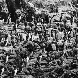 A Colony Of Guillemots Monochrome by Jeff Townsend
