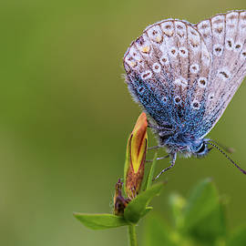 A Common Blue Butterfly by Stephen Jenkins