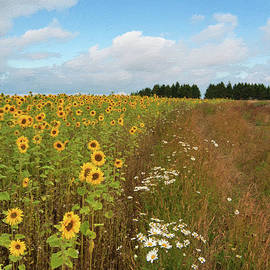 Andrew Michael - A field of sunflowers at Snowhill