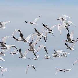 A Flying Flock Of Caspian Terns by Robert Potts