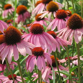 A Gathering Of Purple Coneflowers by Kay Novy