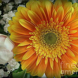 A Golden Daisy  by Dora Sofia Caputo Photographic Design and Fine Art