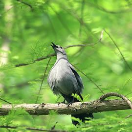 A Gray Catbird Singing by Trina Ansel