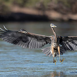 A Great Blue Heron chase. by Paul Martin