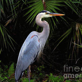 A Great Blue Heron by Scott Cameron