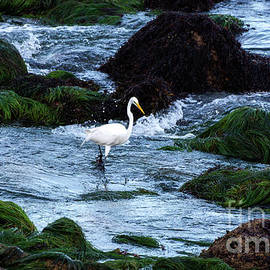 A Great Egret Watches the Incoming Tide by Susan Wiedmann