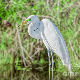 A Great White Egret Posing by Judy Kay