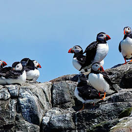 A Group Of Puffins by Jeff Townsend
