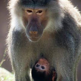 A Hamadryas Baboon Mother and Baby by Derrick Neill