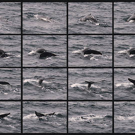 A Humpback Whale Collage as It Begins Its Sounding Dive by Derrick Neill