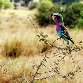 A Lilac Breasted Roller Sings by Kay Brewer