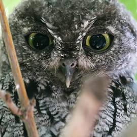 A Little Screech Owl Hiding on its Roost During Daylight by Derrick Neill
