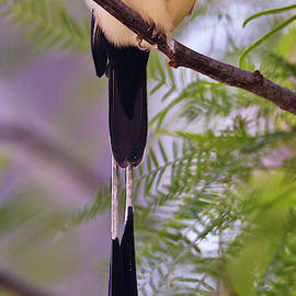 A Long Tailed Paradise Whydah, Vidua paradisaea by Derrick Neill