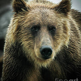A Male Grizzly Bear by Webb Canepa