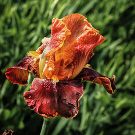 A Multi Colored Iris by Robert Bales