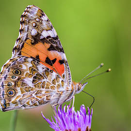 A Painted Lady by Stephen Jenkins
