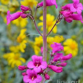 A Penstemon Princess by Janet Marie
