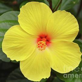 A Perfect Hibiscus by Poet's Eye
