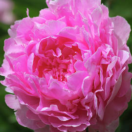 A Perfect Pink Peony in a Garden, Genus Paeonia by Derrick Neill
