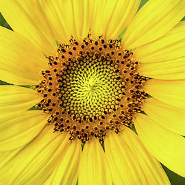 A Perfect Sunflower by Don Johnson