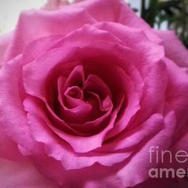 A Pink Full Rose by Joan-Violet Stretch