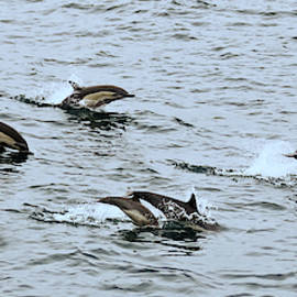 A Pod of Common Dolphins Off San Diego, CA, USA by Derrick Neill