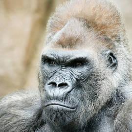 A Portrait of a Silverback Gorilla by Derrick Neill