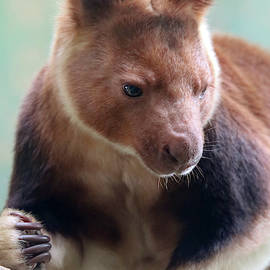 A Portrait of a Tree Kangaroo, Genus Dendrolagus by Derrick Neill