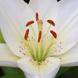 A Portrait of a White Lily Flower, Genus Lilium by Derrick Neill