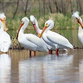 A Pouch of Pelicans by Larry Kniskern