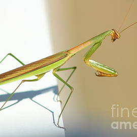 A Praying Mantis by Maili Page