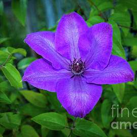A Purple Clematis by Robert Bales