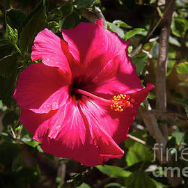 A Red Hibiscus by Robert Bales