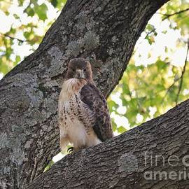 A Red Tailed Hawk Looking At Me by Karen Silvestri